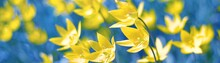 Blooming Yellow Tulips Against Clear Blue Sky, Close-up. Panoramic Spring Landscape. Nature, Plants, Botany, Gardening. Natural Floral Pattern, Texture, Background, Wallpaper