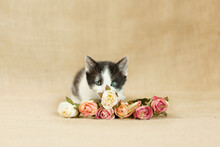 Gray, Black And White 5 Week Old Kitten Playing With Bouquet Of Pink And Red Roses, On A Burlap Brown Background.