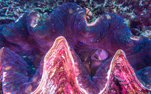 Close Up Of A Giant Clam (Tridacna Gigas) The Largest Living Bivalve Mollusks On A Tropical Coral Reef Near Anilao, Batangas, Philippines.  Underwater Photography And Marine Life.