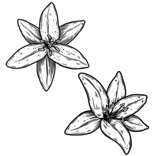 Illustration Of Lily Flower In Engraving Style. Design Element For Poster, Card, Banner, Sign. Vector Illustration