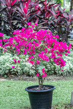 Blooming Magenta Bougainvillea Flower In A Garden.Pink Bougainvillea Flower And Blue Sky Background.