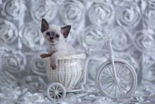 Little Light Kitten Devonrex Sitting On A Bicycle