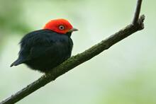 Red-capped Manakin, Ceratopipra Mentalis