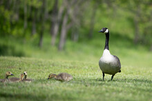 A Mother Canada Goose And Goslings.