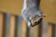Cute Grey Squirrel Hanging Upside Down Eating From Backyard Bird Feeder