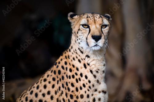 cheetah closed up shot