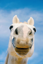 Funny Gray Horse Face With Nose Close Up, Farm Animal Humor.