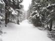Leinwandbild Motiv Heavy snowstorm in the fir forest.