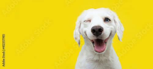 Fototapeta Happy dog puppy winking an eye and smiling  on colored yellow backgorund with closed eyes. obraz