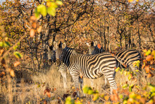 Zebra In The African Bush, South Africa