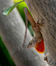 Brown Anole On Tree