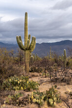 An Eight Arm Saguaro Cactus And Prickly Pear Cactus In The Foreground On A Sandy Desert Floor With A Mountain Ridge In The Background And Overcast Sky, Saguaro National Park, Arizona..
