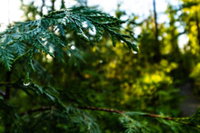Morning Dew Drops Gather On A Pacific Cedar Tree