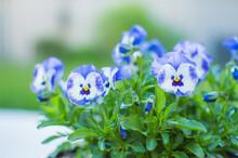 Blue Violets, Johnny Jump Up, Floral Background