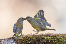 Two Isolated Green Finches Kissing
