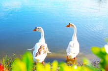 White Geese Lovebirds Are Non-flying Creatures, Preferring To Live In Gardens Near Swamps.