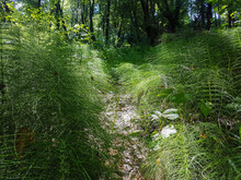 Large Thicket Of A Lush Green Equisetum In Park