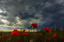 Poppy Field And Dark Rain Clouds In The Summer