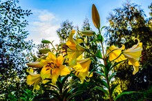 Flowers Of A Yellow Lily In The Summer Evening Against A Background Of Birches In The Rays Of The Setting Sun.