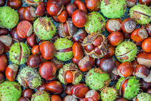 A Selection Of Freshly Harvested Conkers (from A Horse Chestnut Tree) In Green Spiky Capsule Or Without Husks