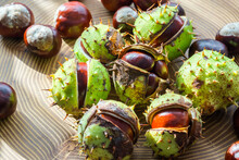 A Selective Focus On Conkers With Green Spiky Cases Partly Opened And Touched By The Late Day Sun