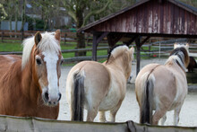 Haflinger With Two Fjord Horses In The Background