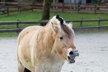 Yawning Fjord Horse