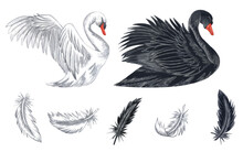 Watercolor Illustration Of White And Black Swans. Hand Drawn White And Black Feathers Isolated On White Background. Love Concept. Swans Clipart
