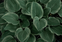 Hosta Plant Leaves. Natural Green Background. Large L Leaves Of A Garden Plant. Genus Of Perennial Herbaceous Plants Of The Family Green. Close-up.