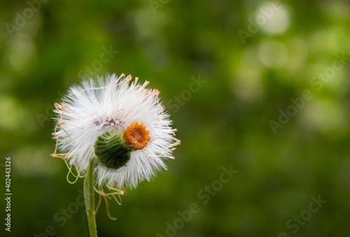 Fototapety, obrazy: Dandelion flower in green background.