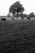 Cows Grazing Under A Tree In The Pasture On An Early Morning With Dew In The Grass Depicted In Black And White.