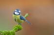 Leinwandbild Motiv Blaumeise Parus caeruleus