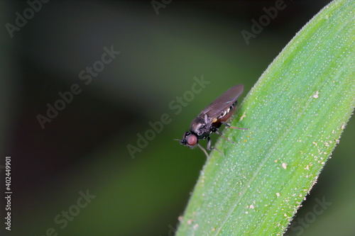 Fotografie, Obraz Oscinella frit is a European species of fly and member of the family Chloropidae