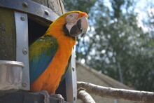 A Close Up Of An Orange Parrot Peeking Out Of The Hideout, At Birdland Park And Gardens, England, Great Britain.