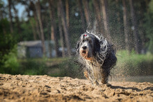 Bearded Collie Is Running In The Sand. He Wants Ball In Water.