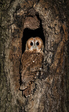 Tawny Owl (Strix Aluco) Camouflaged In A Tree At Night.