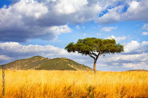 Panorama of a lonely tree in Savanna in Kenya over cloud background