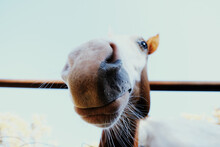 Funny Colt Horse Whiskers Close Up With Wide Angle View Of Nose.