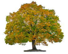 Isolated Autumn Tree On A White Background To Use In Architectural Design Or Rather Of A Field With Clipping Path.