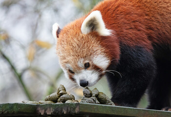 Red panda smelling it's own poo
