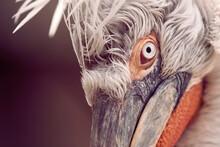 Eye Detail Of Dalmatian Pelican Pelicanus Crispus