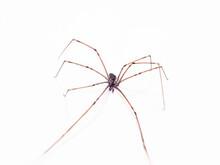 Long Legs Brown Spider