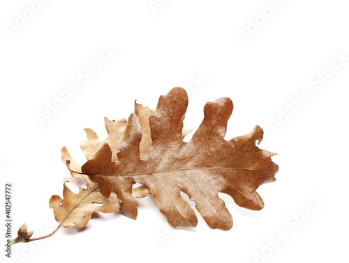 Photo Oak dry leaves, Christmas orthodox symbol, isolated on white background