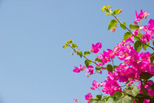 Pink Bougainvillea Flower Under Blue Sky For Wallpaper Or Backgrpund