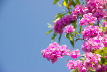 Pink Bougainvillea Flower Under Blue Sky For Wallpaper Or Backgrpund With Copy Space