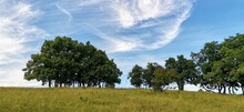 Oak Trees On A Hilltop Meadow In Summer With Light Clouds