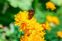 Blooming Yellow Flowers With A Butterfly On Sunny Day In Summer - Close-up 2