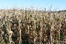 Corn Maze At A Farm