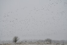 Geese Over A Snowy Field