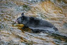 Wading Black Bear, Anan Creek, Alaska